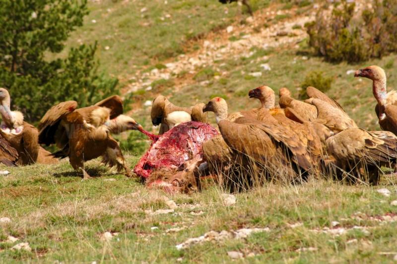Buitres-leonados-alimentándose-de-un-cadáver-de-ciervo
