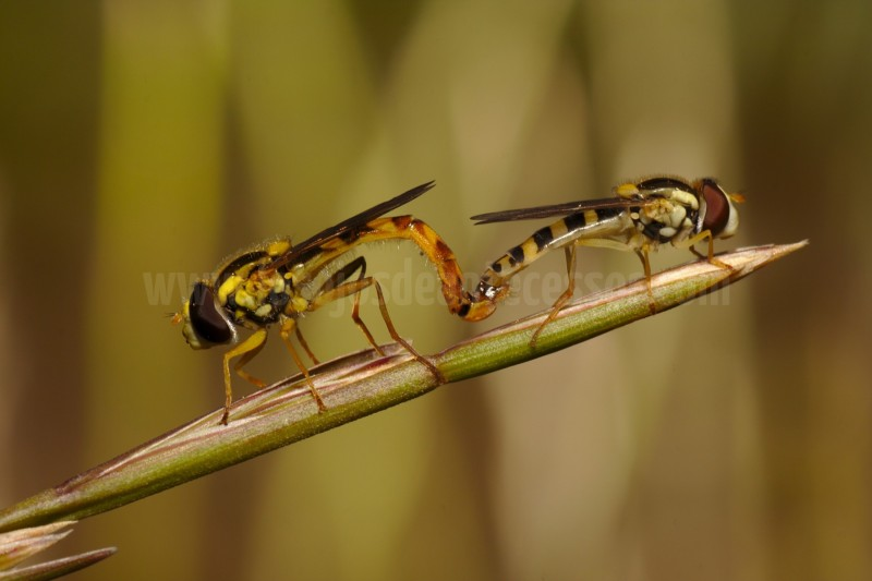 Cópula de dos moscas (sírfidos)