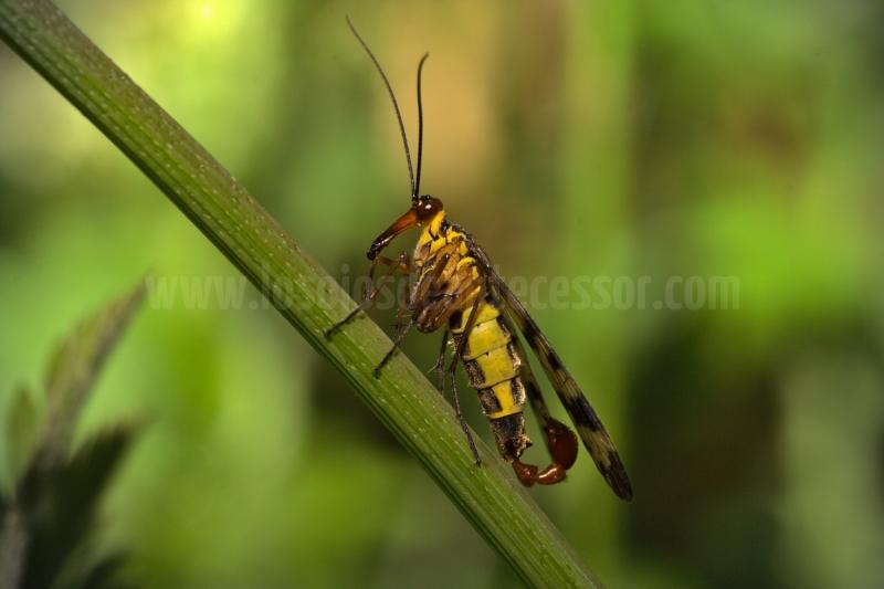 Mosca-escorpion-del-genero-Panorpa-de-lateral-en-Tarragona