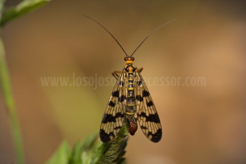 Mosca-escorpion-del-genero-Panorpa-de-vista-superior-en-Tarragona
