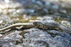 Culebrilla de agua comenzando a comerse a una lagartija  en el río Ibor (Cáceres, España)
